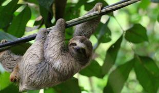 A young sloth hangs from a cable in a jungle in Costa Rica.