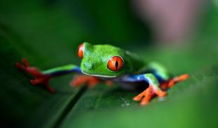 Green Tree Frog sits on a leaf