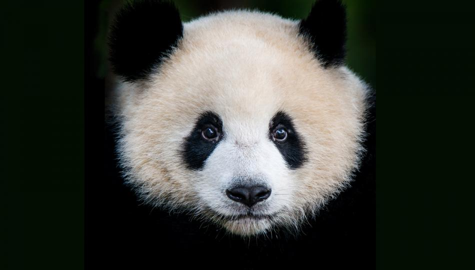 A large picture of a giant panda bear's (Ailuropoda melanoleuca) face.